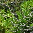 イソヒヨドリ(幼鳥)