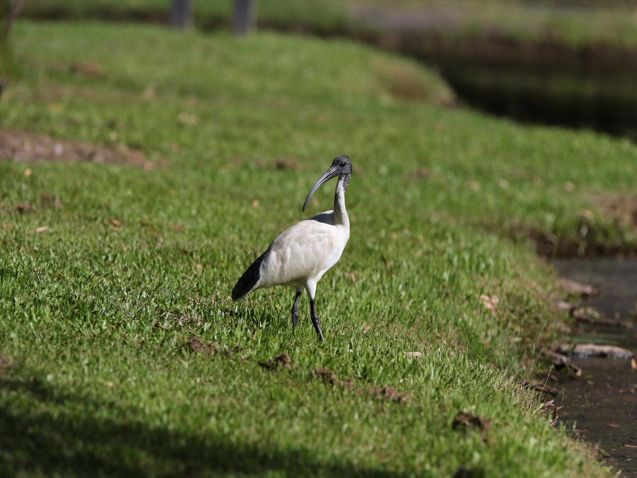 Australian_white_ibis