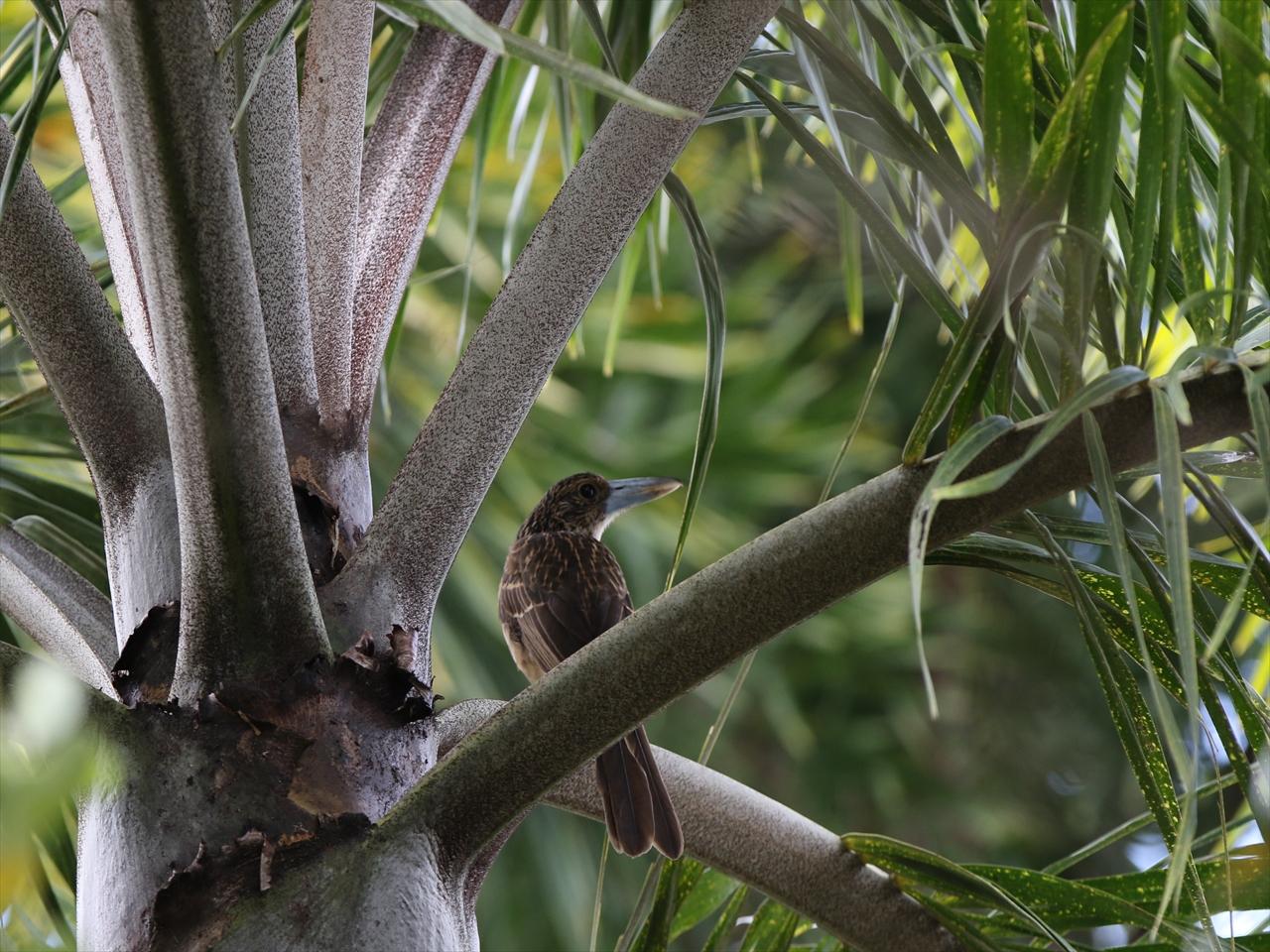Black_butcherbird
