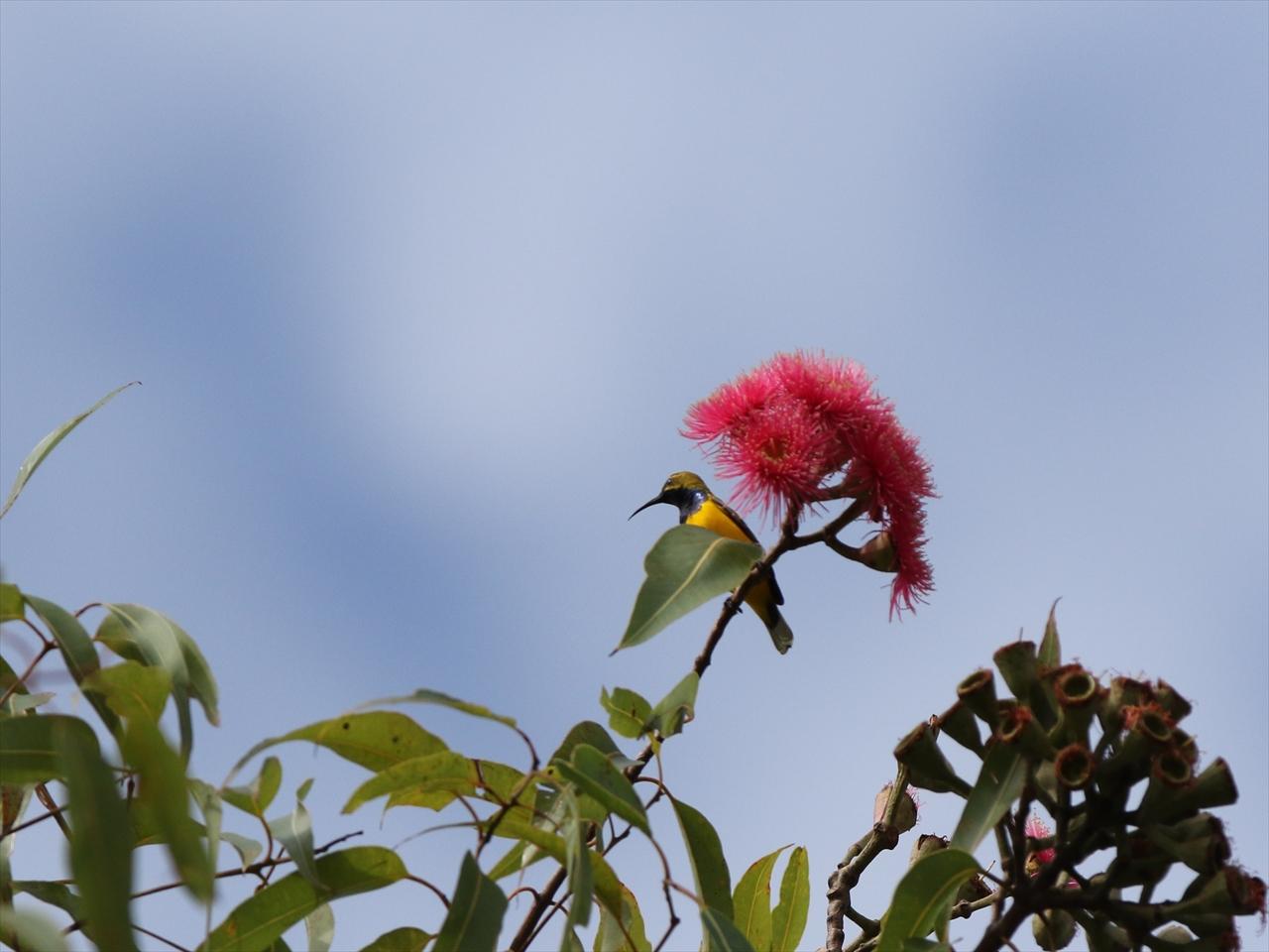 Olivebacked_sunbird