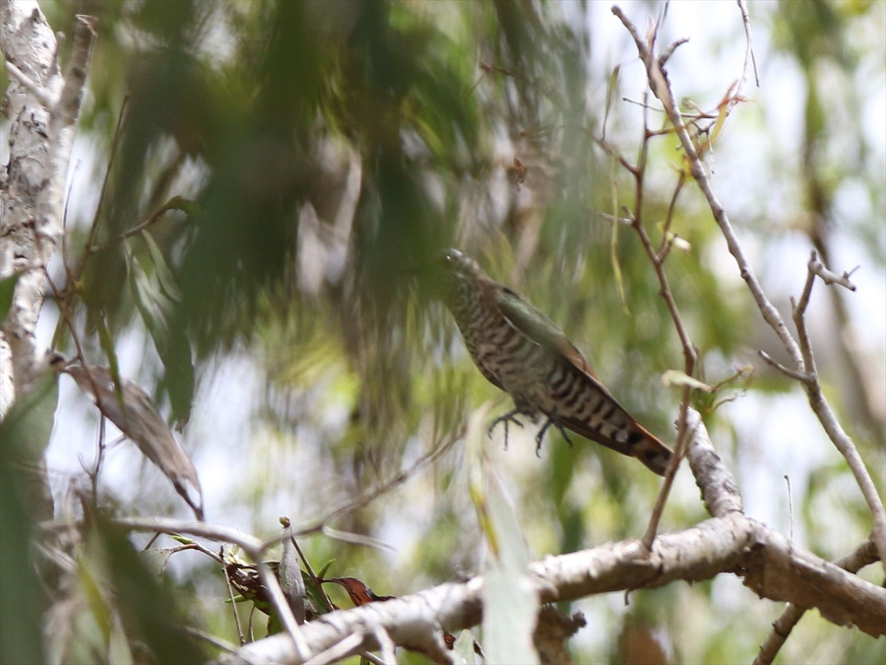 Oriental_cuckoo