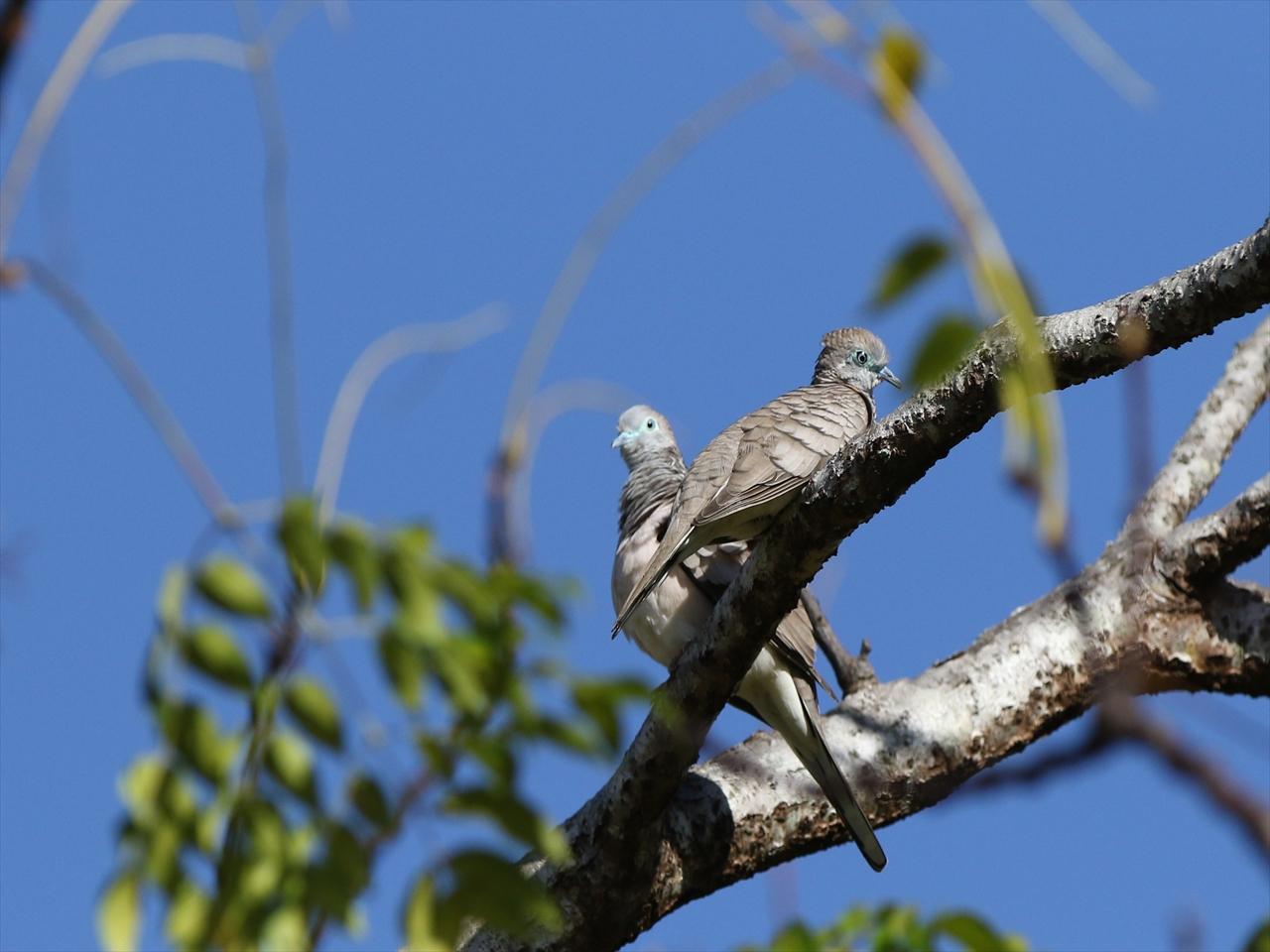 Pieceful_dove