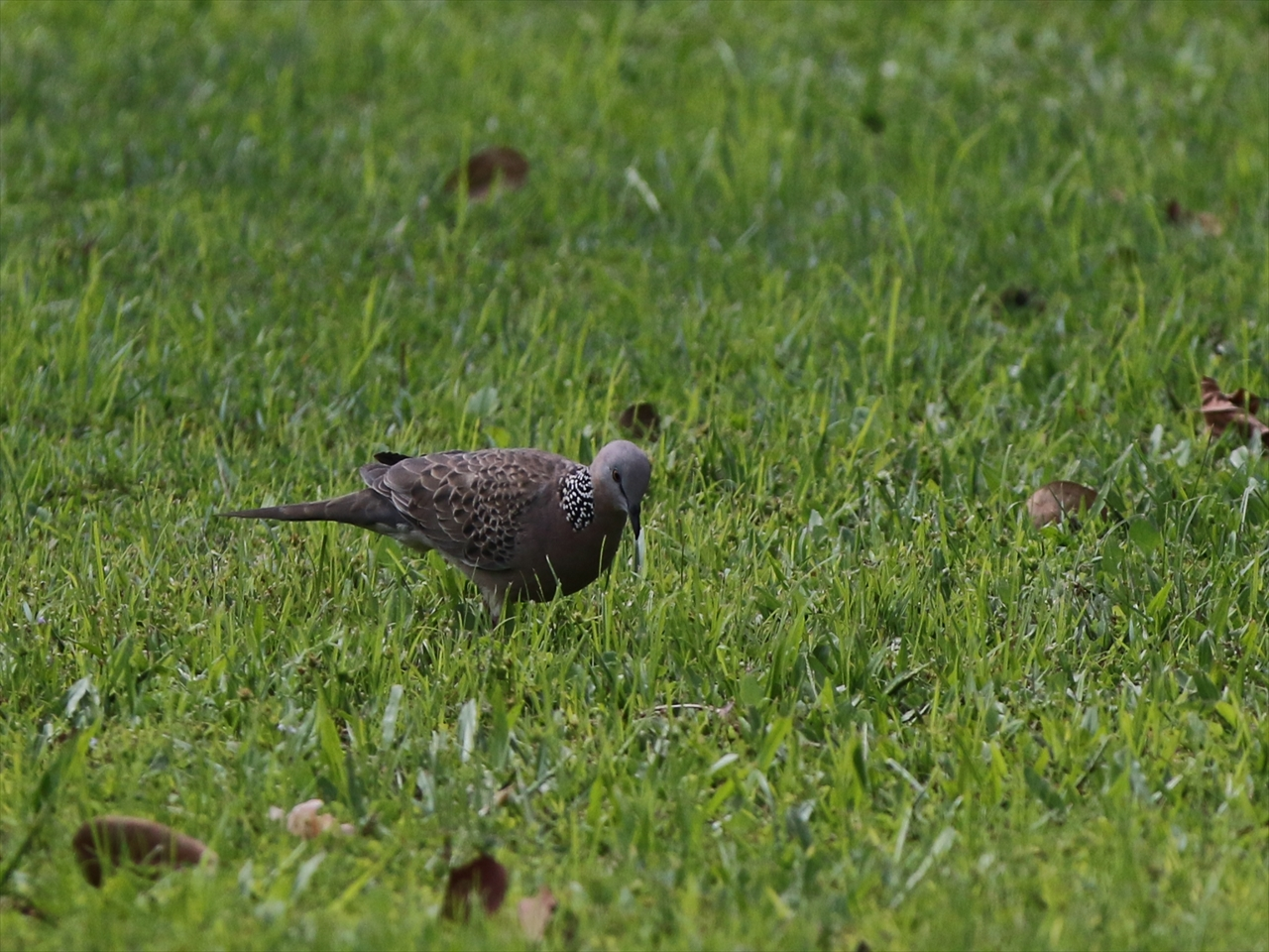Spotted_turtledove