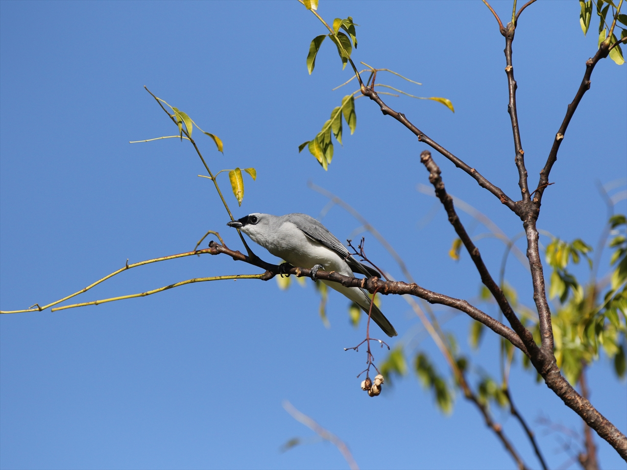 Whitebellied_cuckooshrike