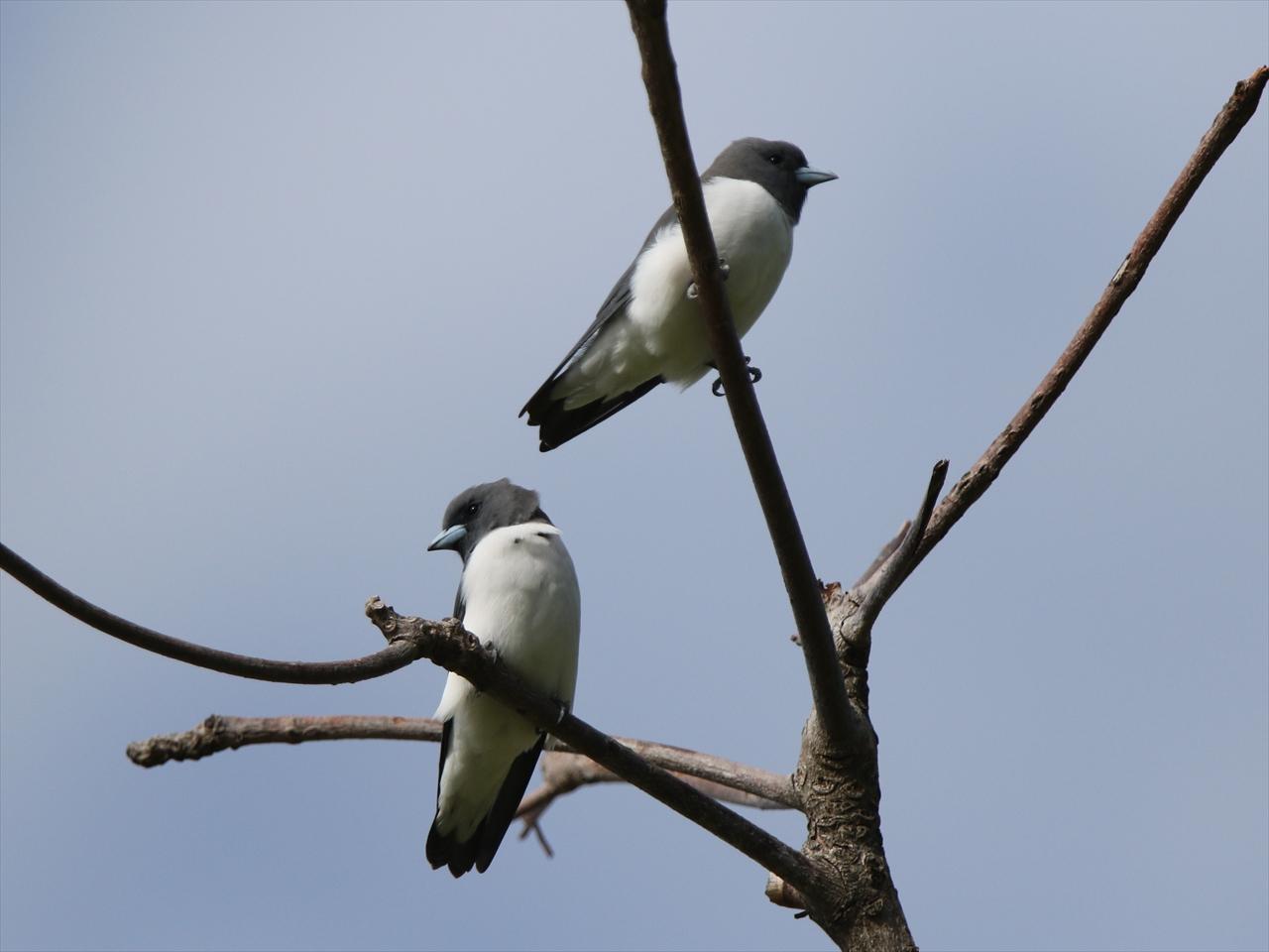 Whitebreasted_woodswallow