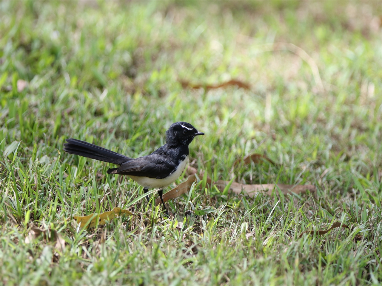 Willy_wagtail
