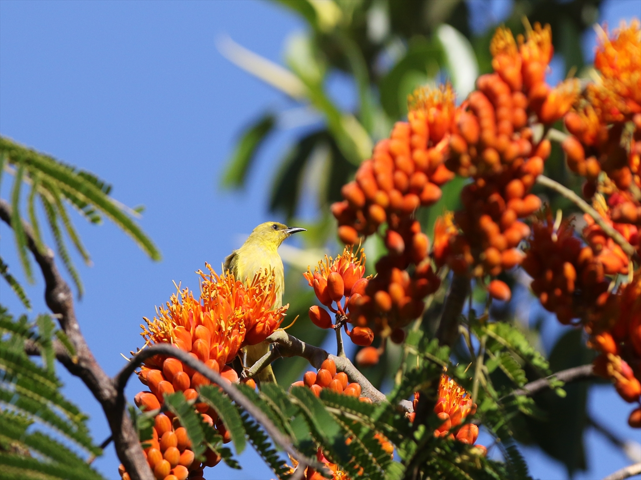 Yellow_honeyeater