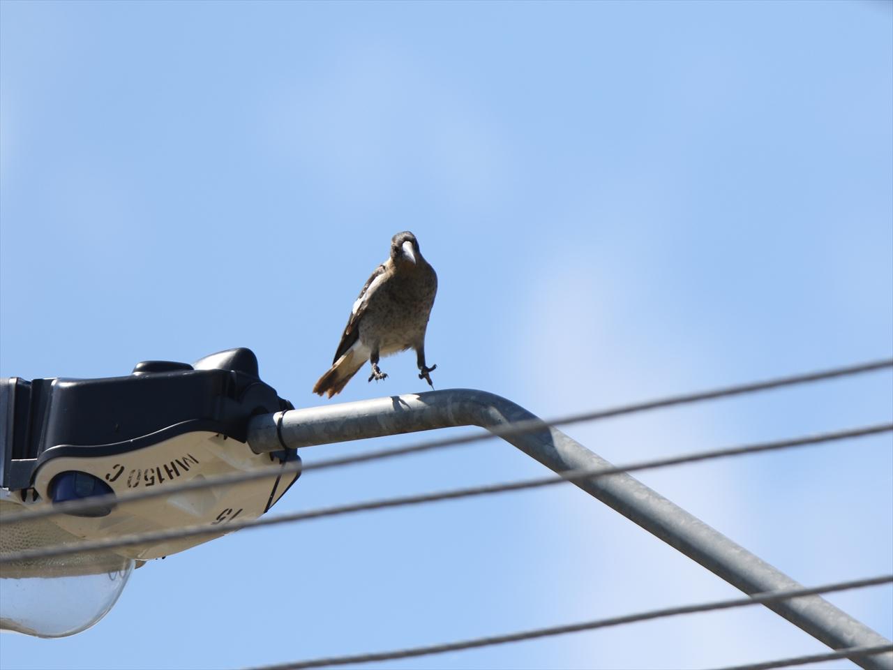 Australian_magpie