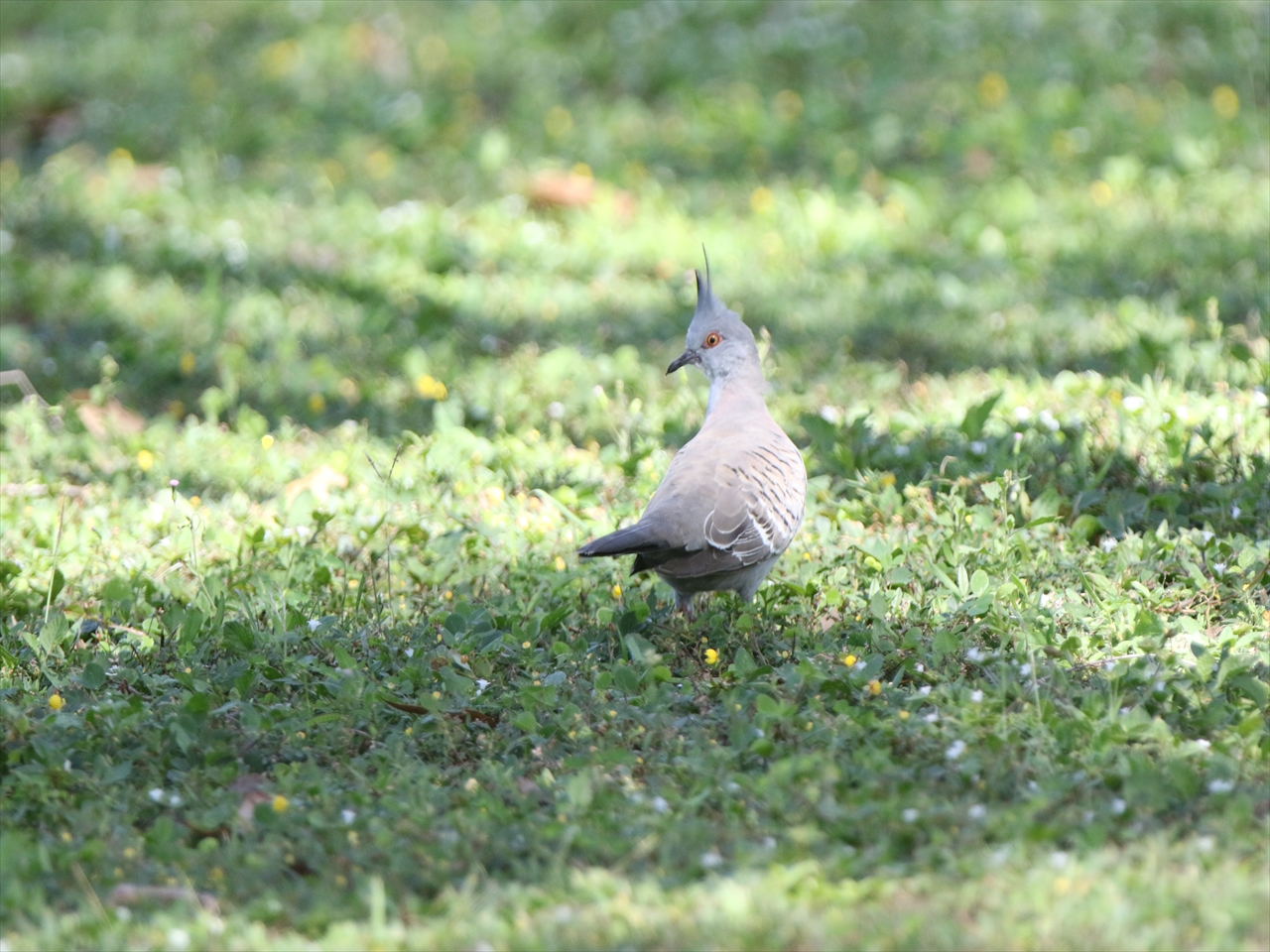 Crested_pigeon