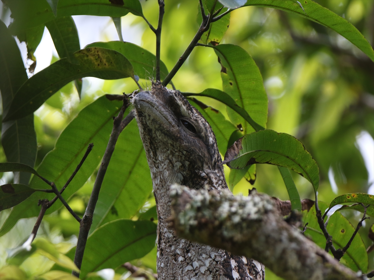 Papuan_frogmouth2