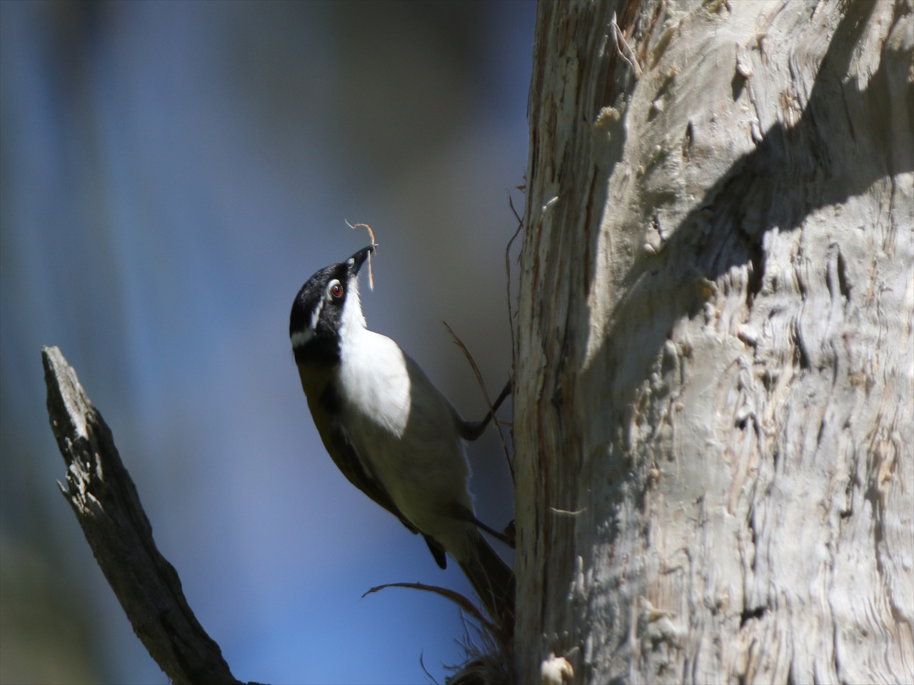 Whitethroated_honeyeater