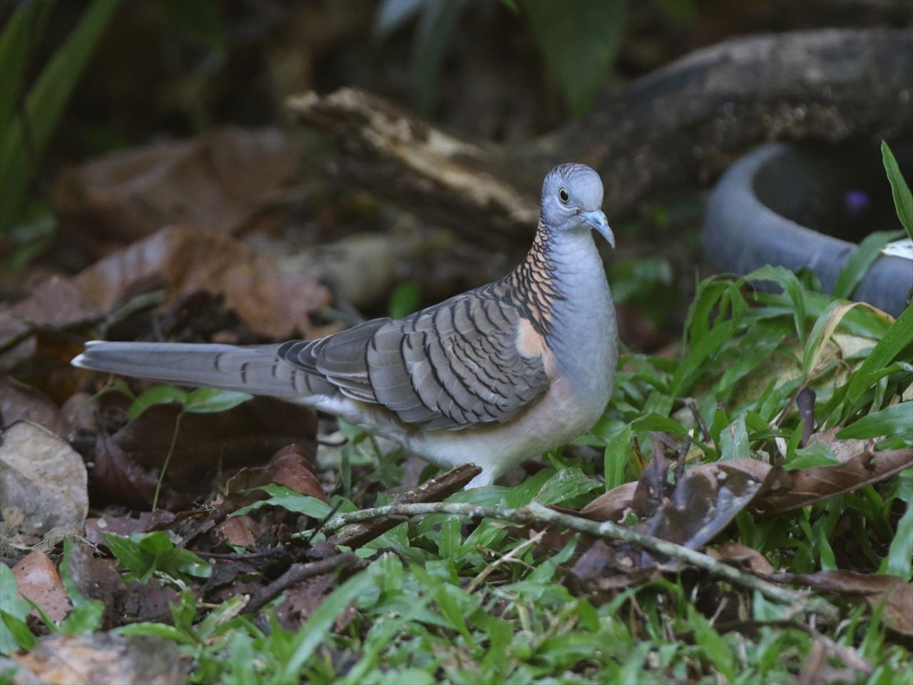 Barshoudered_dove