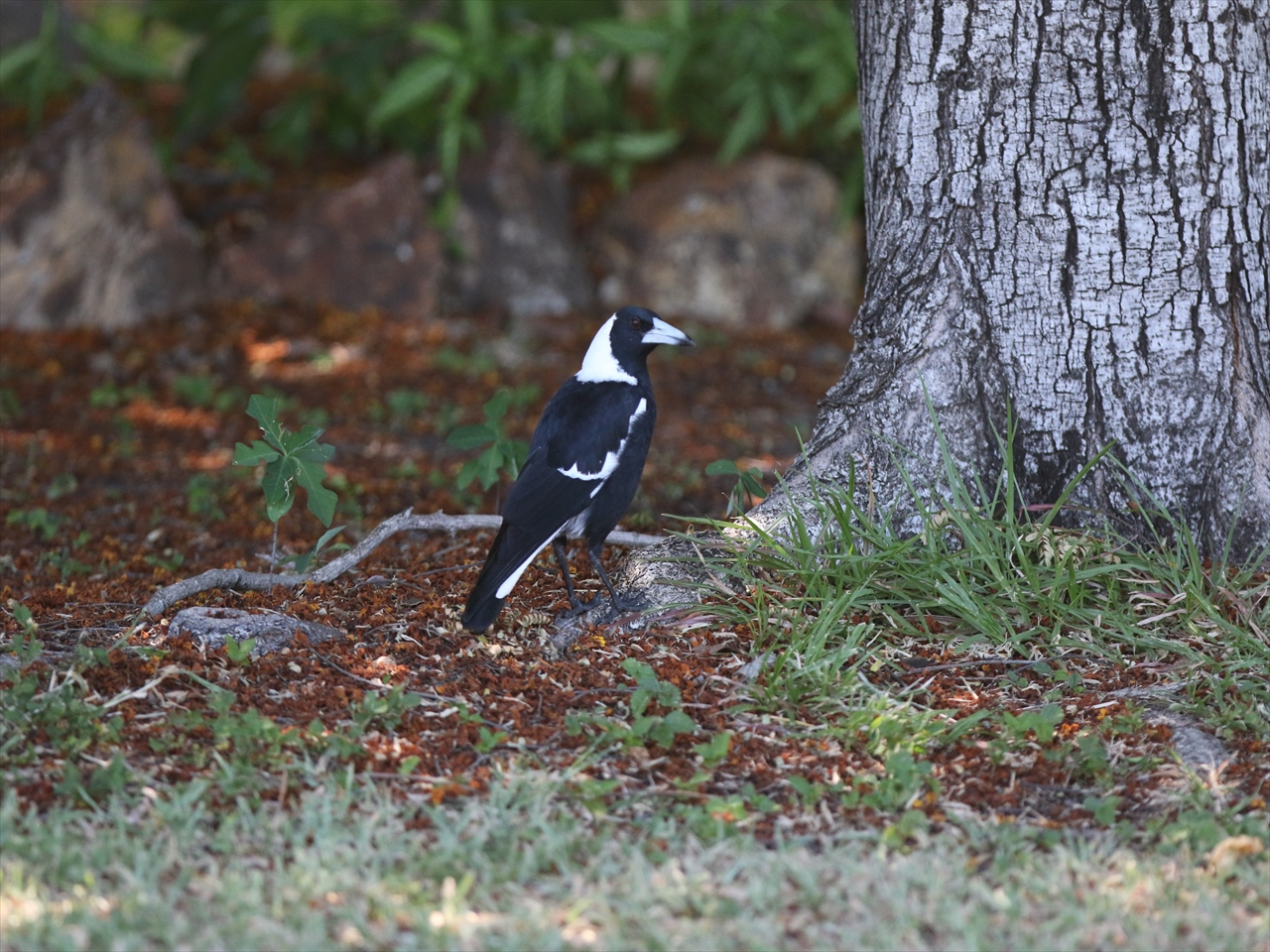 Blackbacked_magpie