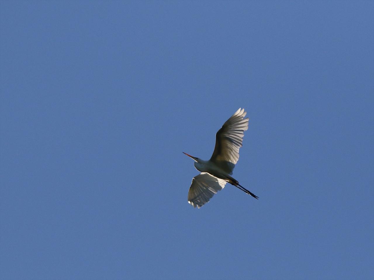 Little_egret