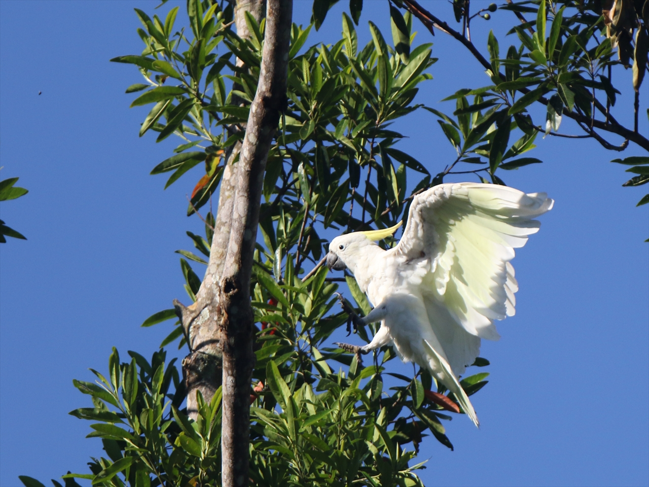Sulphurcrested_cockatoo