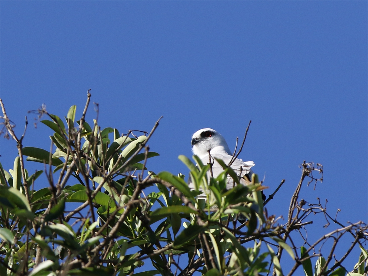 Blackshouldered_kite