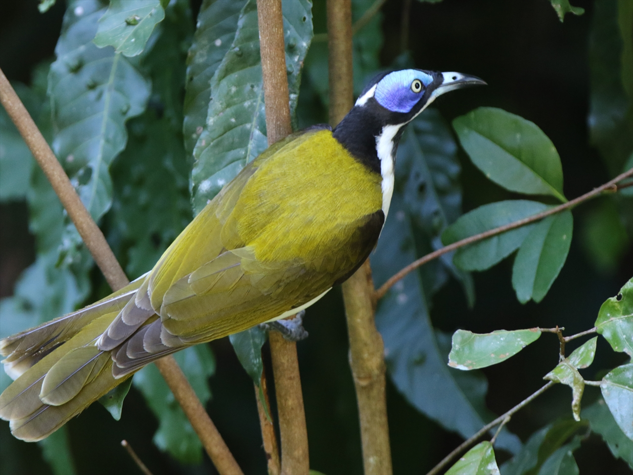 Bluefaced_honeyeater