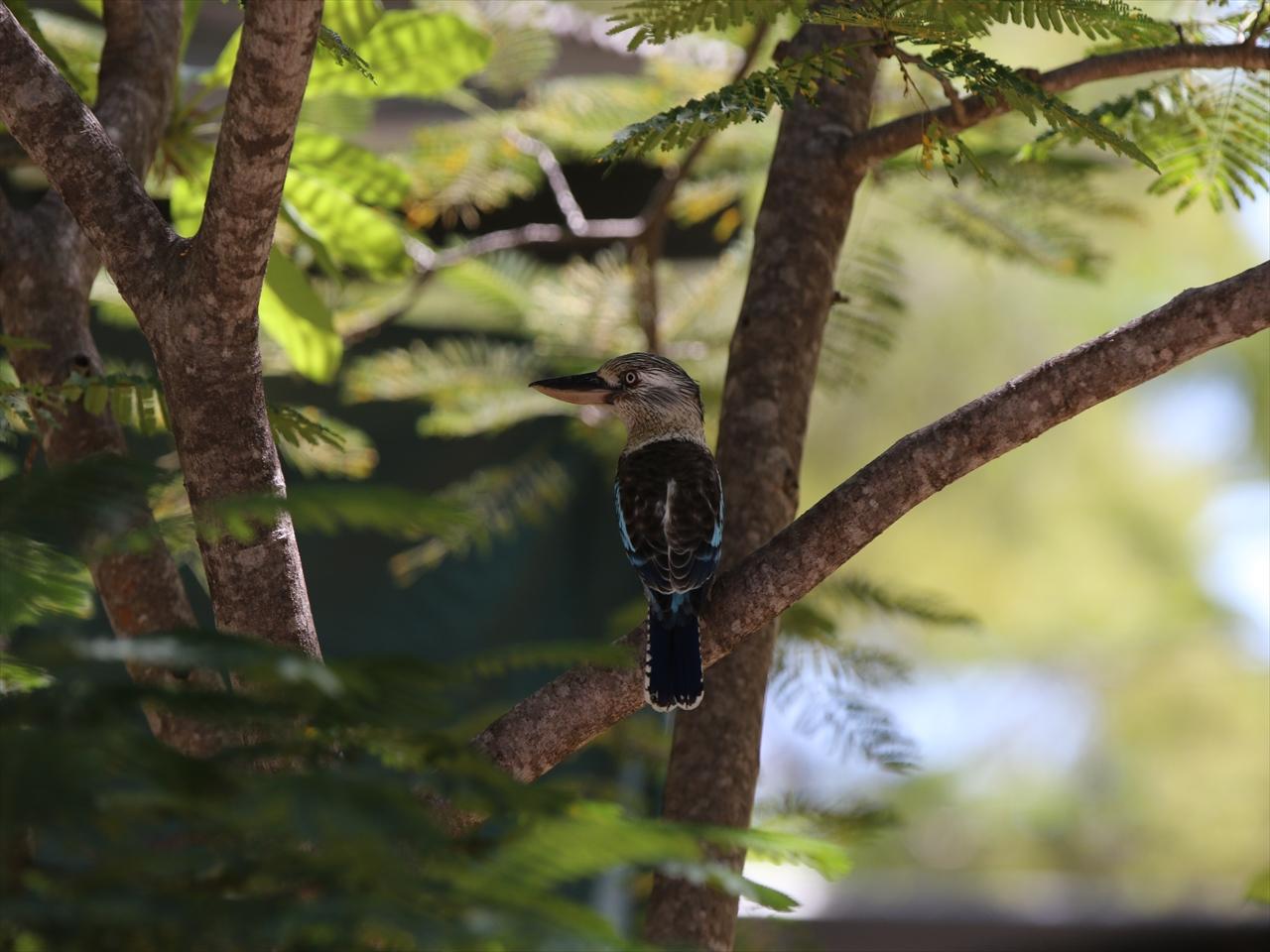 Bluewinged_kookabura