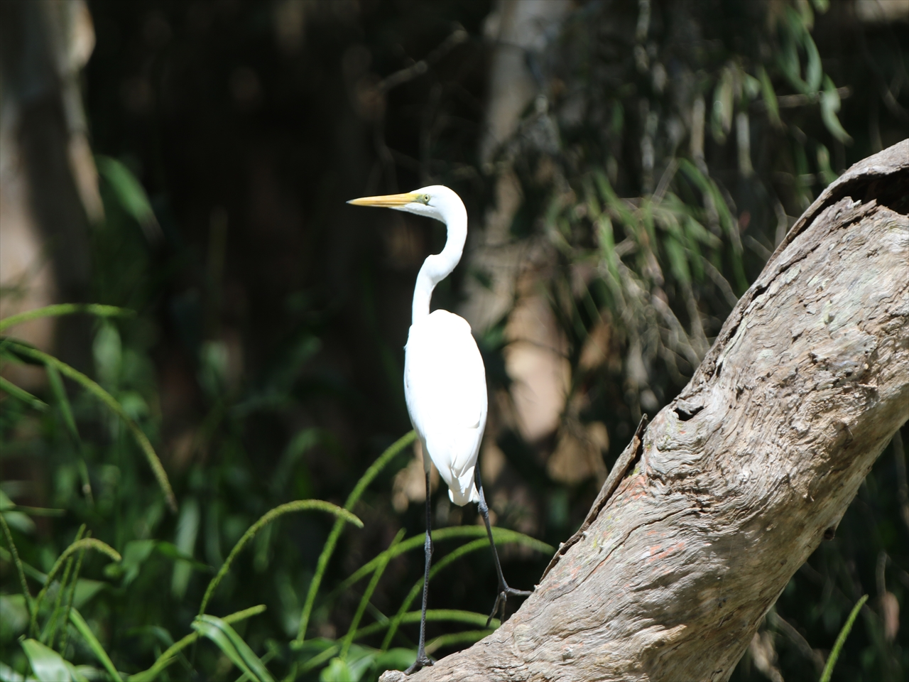 Intermediate_egret