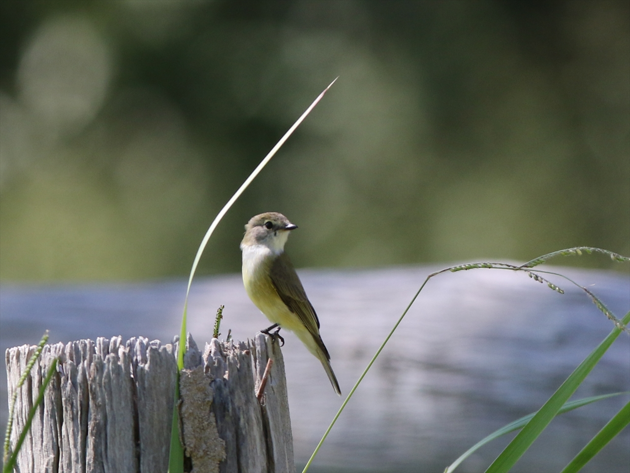 Lemonbellied_flycatcher