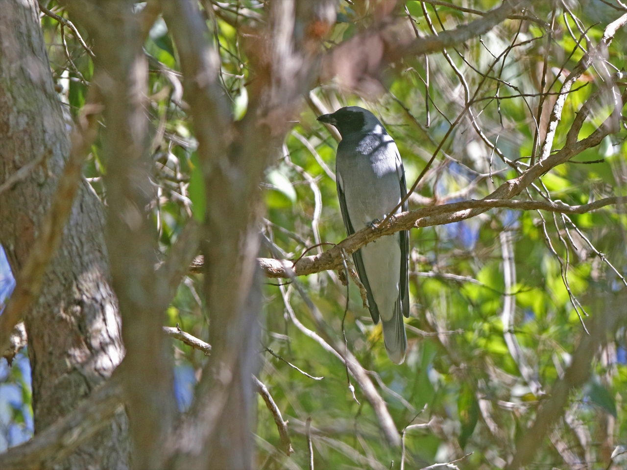 Masked_woodswallow