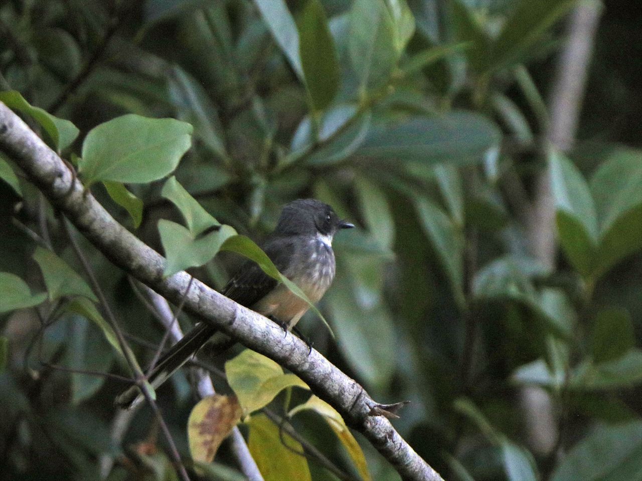 Northern_fantail