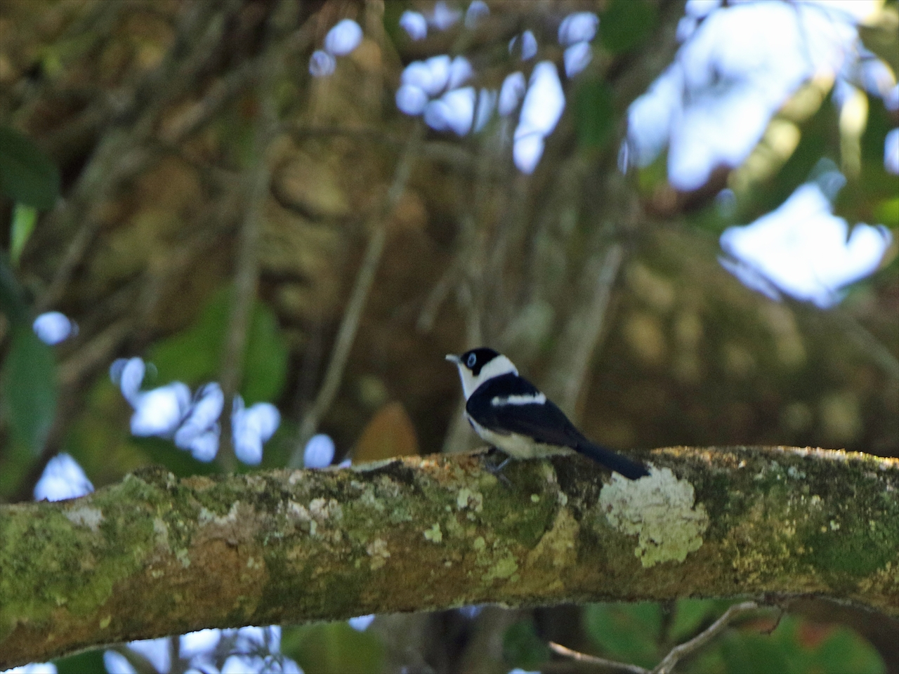 Pied_monarch