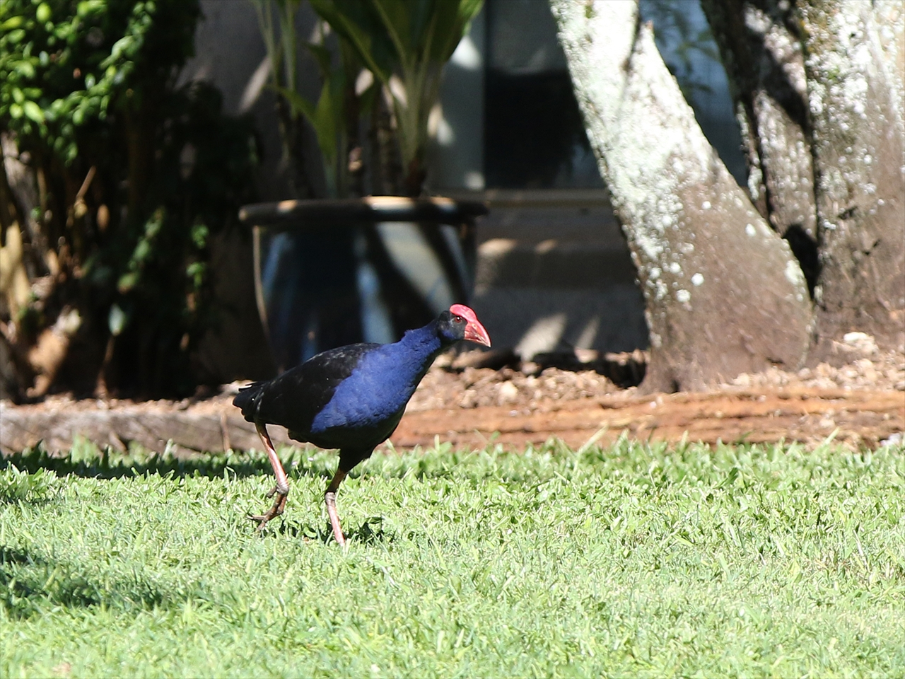 Purple_swamphen