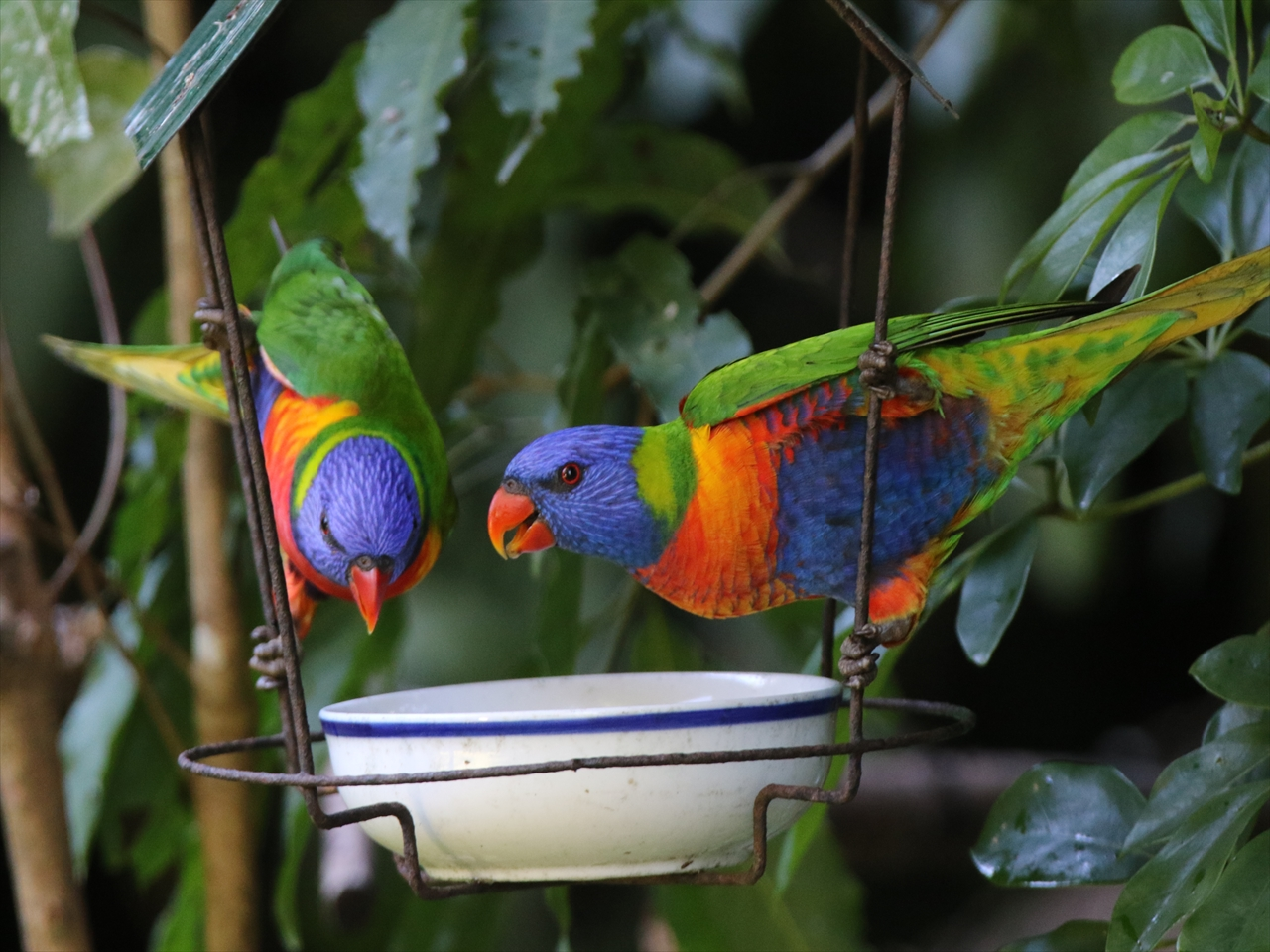 Rainbow_lorikeet