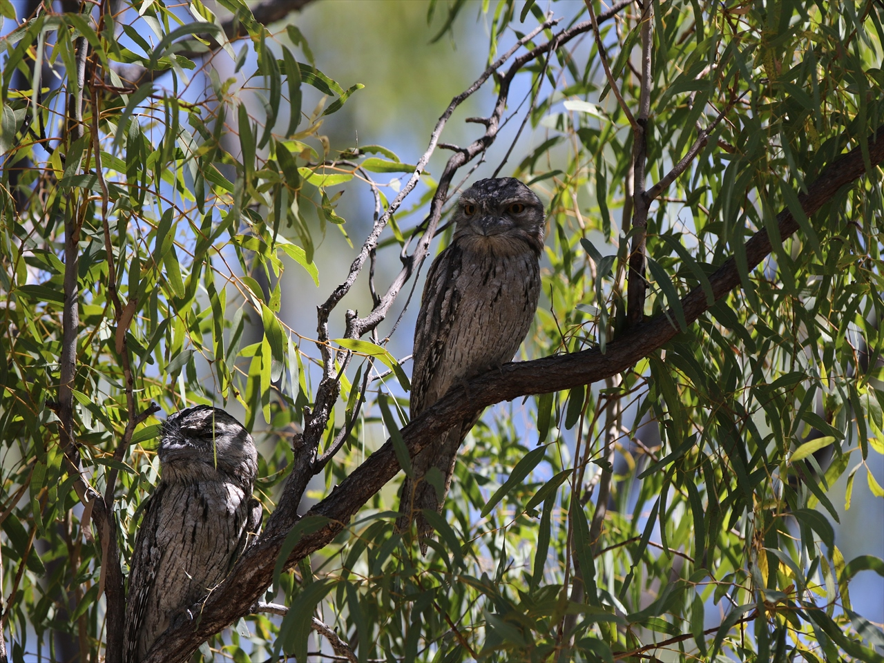 Towny_frogmouth