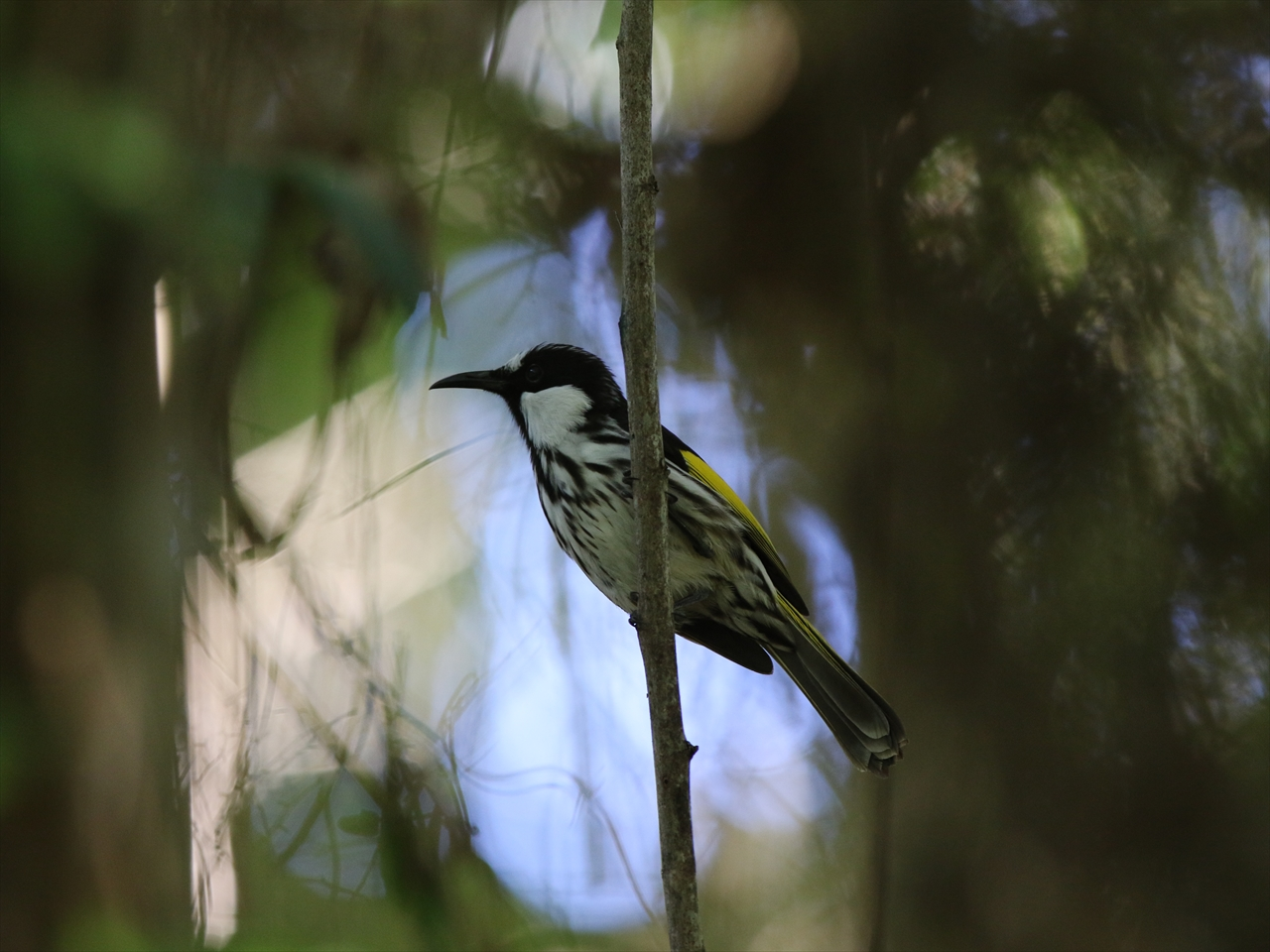 White_cheeked_honeyeater