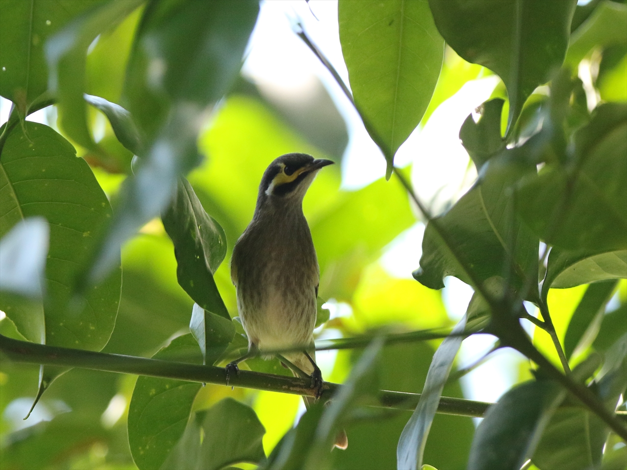 Yellowfaced_honeyeater